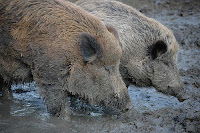A picture of pigs in mud