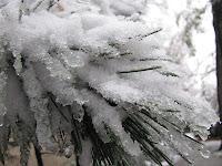 Kiefernadeln im Schnee