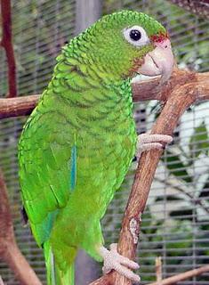 Puerto Rican Amazon Parrot