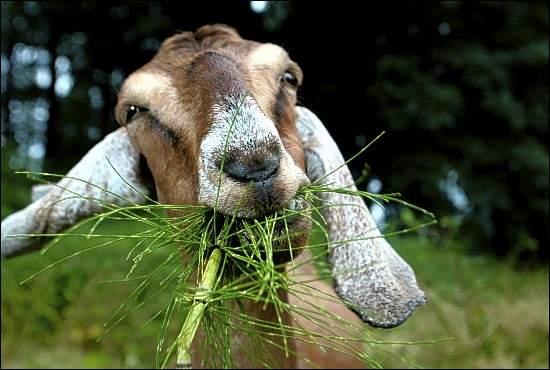 google-goats.jpg