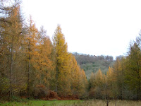 Japanese Larch at Twigside Bottom