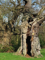 'Sentinels of the Woods' - two 500 year old oaks