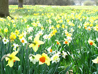Daffodil meadow at Exbury