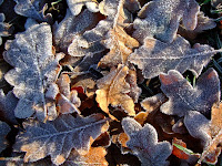 Frosty oak leaves
