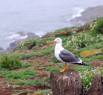 lesser black backed gull (Larus fuscus)