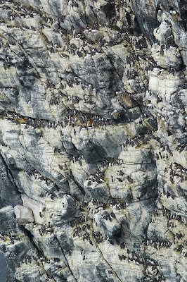 guillemot (Uria aalge)