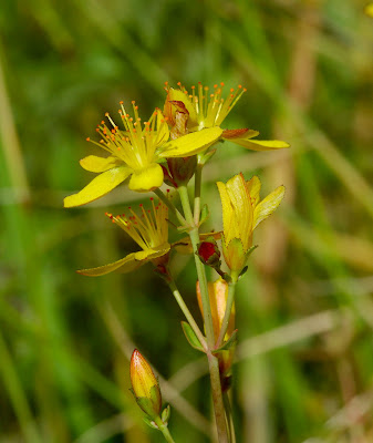 Slender St John's Wort (Hypericum pulchrum)
