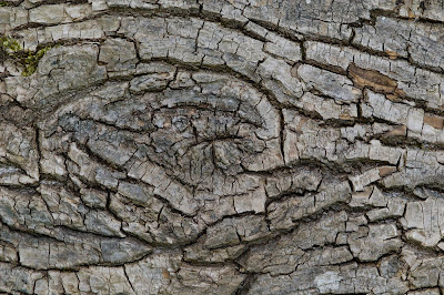 black poplar bark