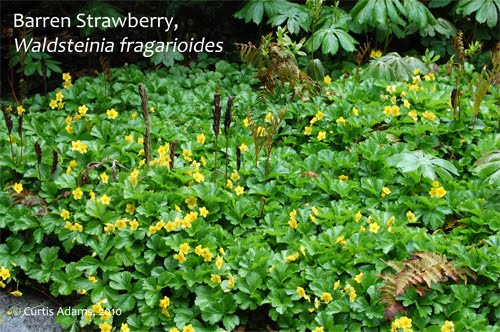 Native plants with adams garden native ground covers barren strawberry waldsteinia fraganoidies formes a fairly dense evergreen mat with good weed suppressive character it produces yellow flowers in early mightylinksfo
