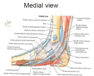 Ankle anatomy medial
