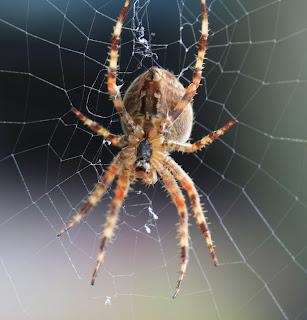 TravelMarx Garden Orb Weaver Spider
