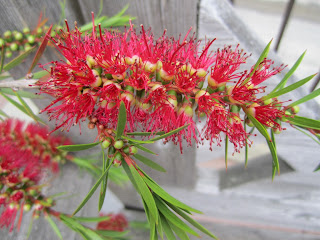 Callistemon blooming
