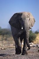 E-animal-Elephant, E for Elephant pics