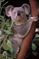 K-animal-Koala, k for Koala wallpapers