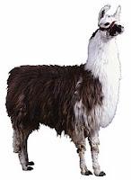 L-animal-Llama, L for Llama pics