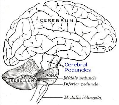 Science, Natural Phenomena & Medicine: Cerebral Peduncles