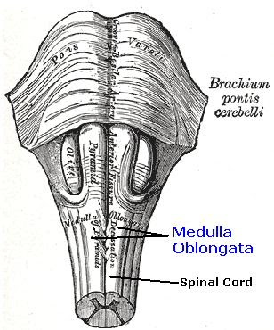 Anterior median fissure of the medulla oblongata