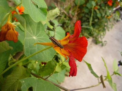 Flor taco de reina con una langosta