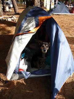 El perro Charol dentro de la carpa con sombra