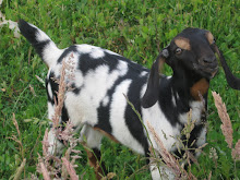 Ex - World's Prettiest Goat