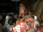 Two Crazy Cattle Dogs