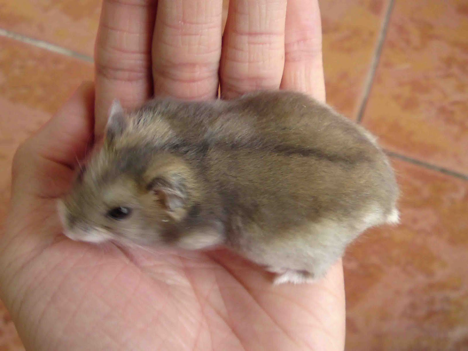 How To Determine a Pregnant Hamster?
