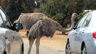 страус в парке сафари, Израиль, Тель-Авив, Рамат Ган, TripBY