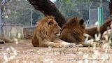 Лев в сафари Рамат Ган by TripBY.info
