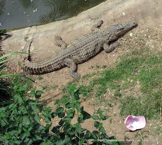 Крокодил в сафари парке в Рамат Ган, Израиль