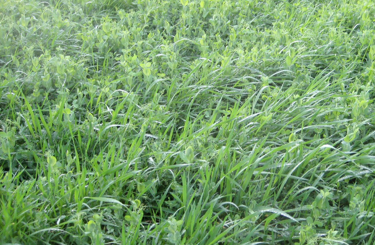 Hairy vetch cover crop