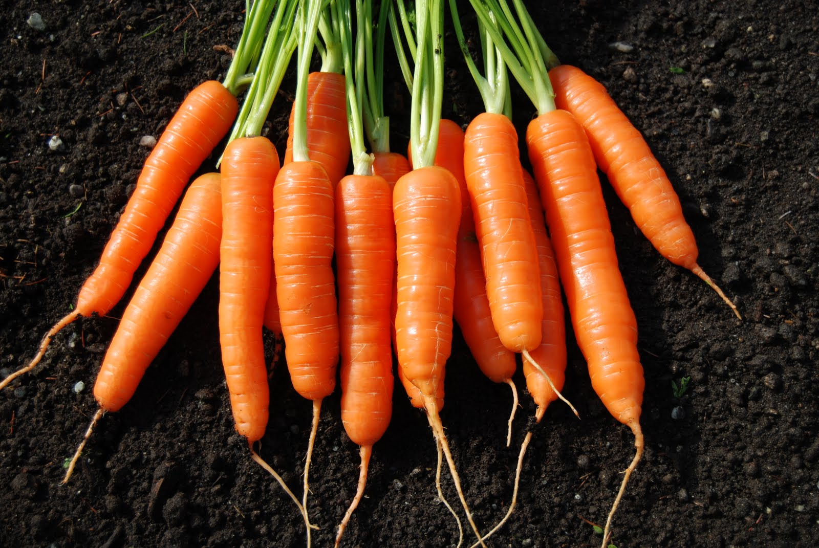 Carrot comments from Colony Creek Farm | Osborne Seed Company Variety ...