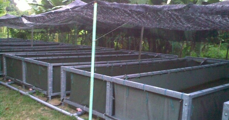 Affnan 39 s aquaponics catfish aquaculture for Catfish aquaponics