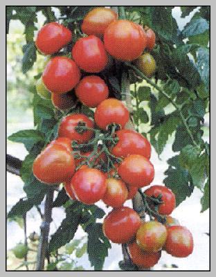 http://4.bp.blogspot.com/_kiwYQ_VUbyk/SpA6_RpMC-I/AAAAAAAAAcQ/fUVfNG_W91Q/s400/tomat.jpg