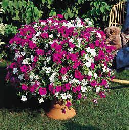Giardinaggio fiori piante novembre 2008 for Petunie perenni