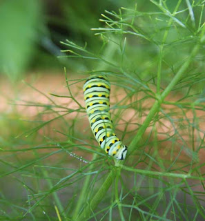photographs - swallowtail caterpillar