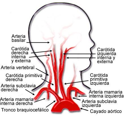 La vida del deportista: Vascularizacion de la cabeza y del cuello ...