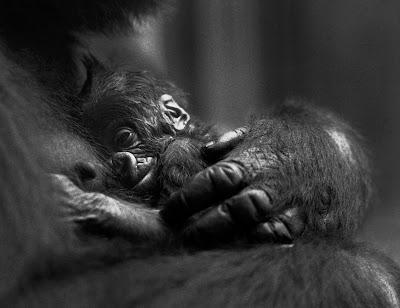 Conscience de la mort prouvée chez les grands singes
