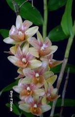 Dendrobium maratuskenses
