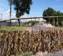 Belalang kaya gizi pembawa rezeki