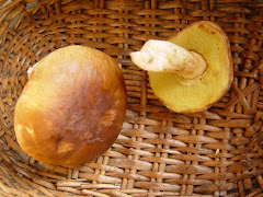 Boletus edulis.