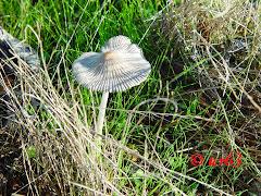 Coprinus auricomus o Plicatilis