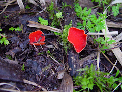 Sarcoscypha coccinea