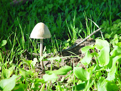 Psilocybe