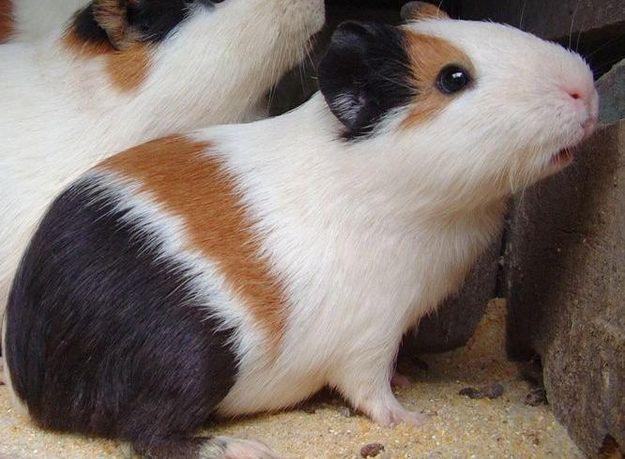 Amado Porquinhos-da-Índia: Duvidas HB49