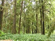 Quinalt Forest