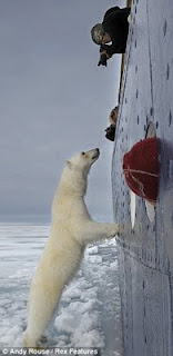 Polar bear visiting tourist ship off Svalbard