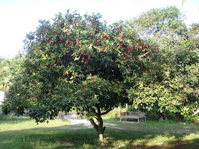 rendang. Even my kids boleh petik sendiri masa pokoknya penuh buah