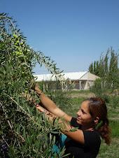 Alumna cosechando aceitunas en las prácticas de campo