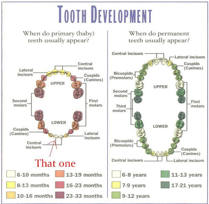 Kitten teeth chart timiznceptzmusic kitten teeth chart ccuart Image collections