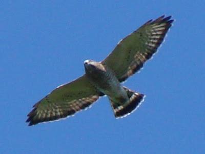 Tails of Birding: Putney Mountain Hawk Watch